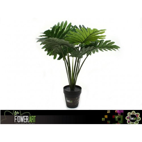 Potted 60cm Philodendron