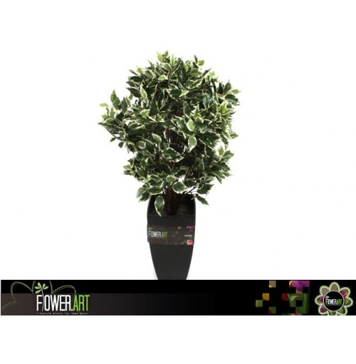 Potted 65cm Ficus Tree